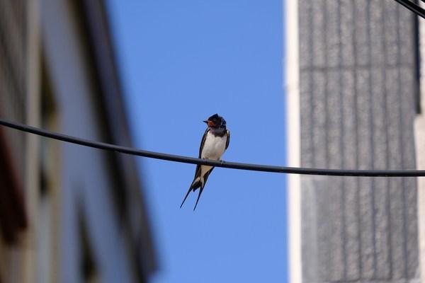马爹利红树林保护项目助力红树林湿地生态系统的改善,为燕子和其他鸟类提供更好的栖息地