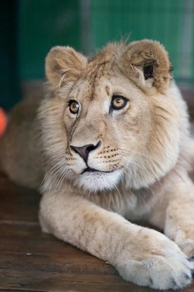 在俄罗斯接受治疗后,辛巴已经康复,现在是一头美丽而骄傲的狮子,他将被送回非洲的自然栖息地生活。所有费用将由俄罗斯铜业公司(Russian Copper Company)承担。